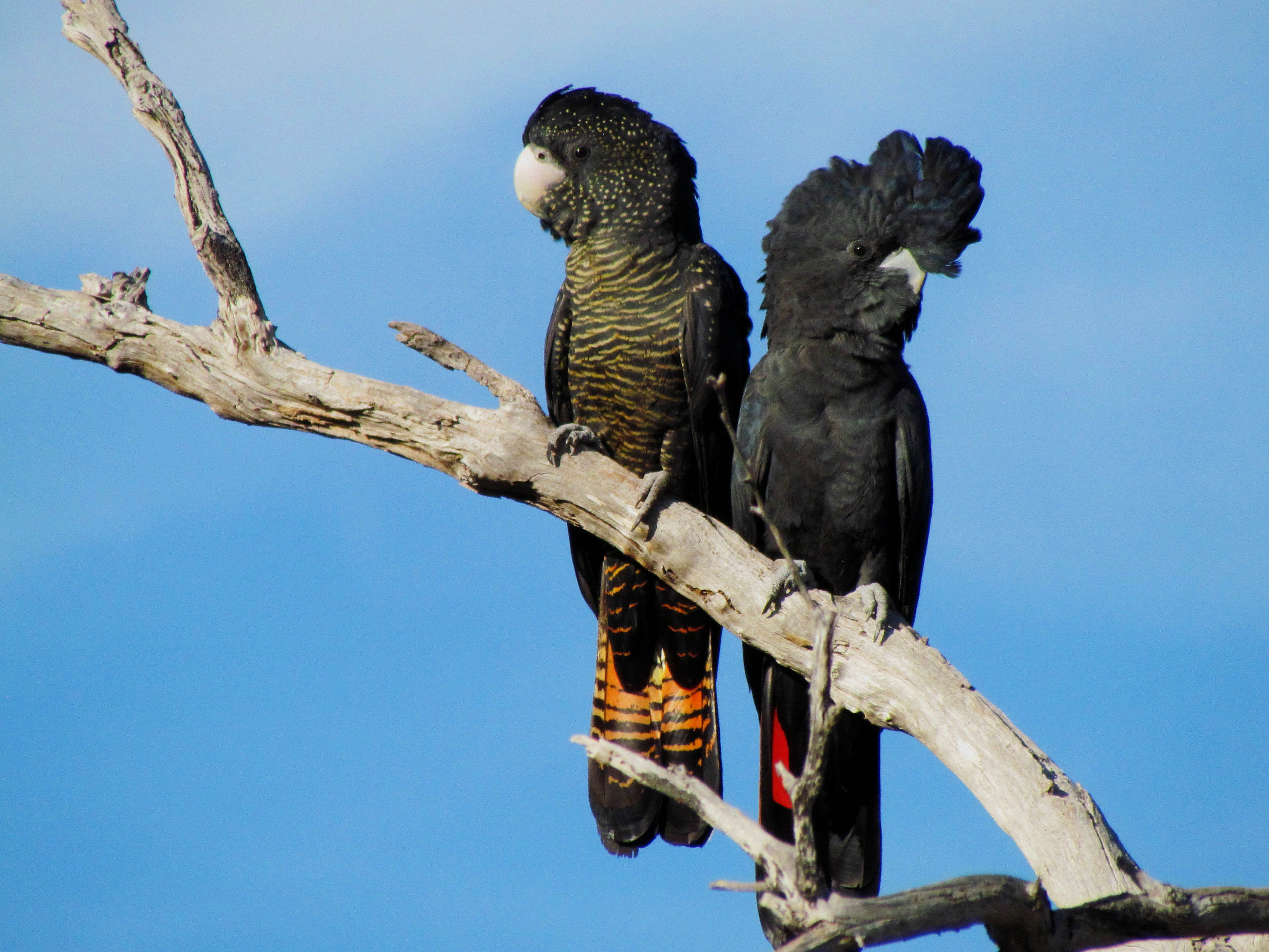 Forest Red-tailed Black Cockatoos
